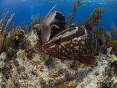 Nassau Grouper posing — Stock Photo