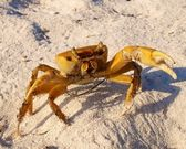 Crab defending — Stockfoto