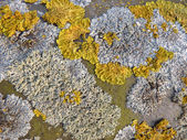 Ordinary yellow lichen — Stock Photo