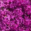 Flowers Lilac background — Stock Photo
