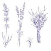 Conjunto de desenhos vetoriais lavanda lápis — Vetorial Stock