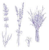 Lavender pencil drawing vector set — Stock Vector