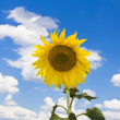 Bloomed sunflower — Stock Photo