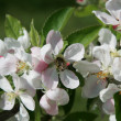 Apple blossoms with bee - Stock Photo