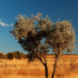 Alone tree in wind of Madagascar — Stock Photo #11538475