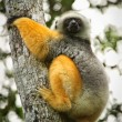 Lemur on the tree in Madagascar - Stock Photo