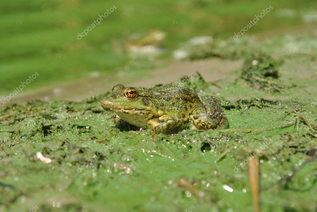Little frog found on the bank of the river in Ukraine — Stock Photo #11907847