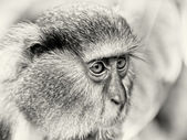 The eyes of a Ghanaian monkey — Stock Photo