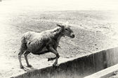 A Ghanaian sheep jumps over the hole — Stock Photo