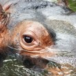 Stock Photo: Hippopotamus's eye
