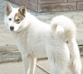 Ukrainian husky — Photo