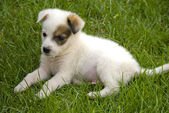 Puppy on the grass — Stock Photo