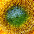 Sunflower — Stock Photo #11546135