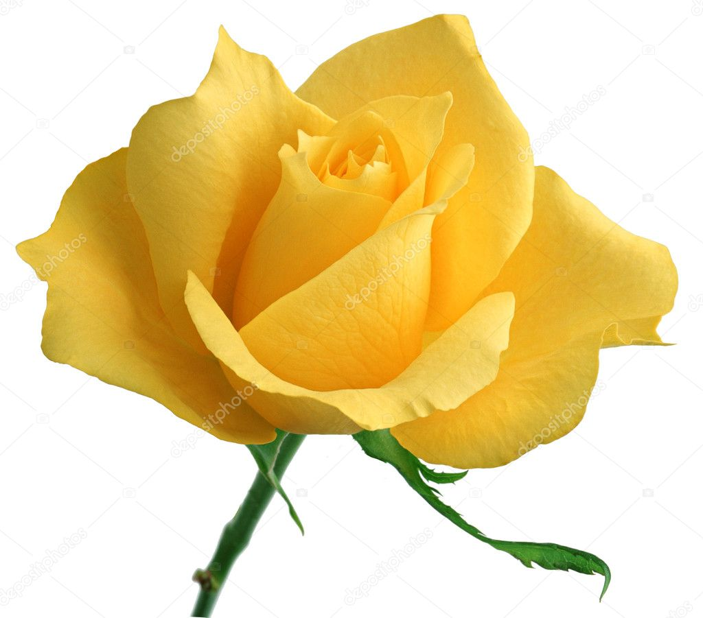 Yellow rose — Stock Photo #11546344