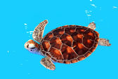 Sea Turtle in Nursery ponds — Stock Photo