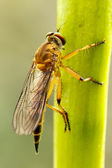 Golden Dragonfly — Stock Photo