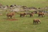 Some elephants — Stock Photo