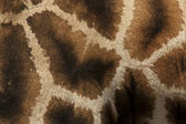 žirafa — Stock fotografie