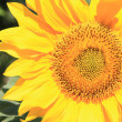 Sunflower — Stock Photo #11560071