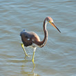 Stock Photo: Tricolored Heron Wading