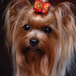 Portrait of yorkshire terrier - Stock Photo