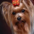 Stock Photo: Portrait of yorkshire terrier