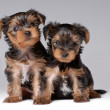 Stock Photo: Portrait of two puppies of yorkshire terrier