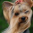 Portrait of yorkshire terrier on the wind — Stock Photo