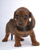 Smooth-haired Dachshund puppy wondering — Stock Photo