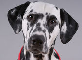 Portrait of Dalmatian — Stock Photo