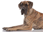 German mastiff — Stock Photo