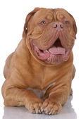 Porträtt av dogue de bordeaux — Stockfoto