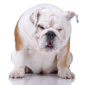 Smooth-haired English Bulldog dozing — Stock Photo
