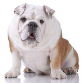 Smooth-haired English Bulldog — Stock Photo