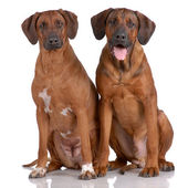 Portrait of pair of Rhodesian Ridgeback — Stock Photo
