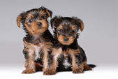 Portrait of two puppies of yorkshire terrier — Stock Photo