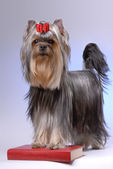 Portrait of yorkshire terrier standing on red book — Stock Photo