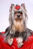 Portrait of yorkshire terrier — Stock Photo