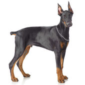 Puppy od doberman standing — Stock Photo