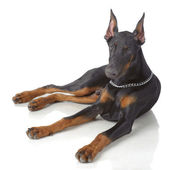 Puppy od doberman laying — Stock Photo