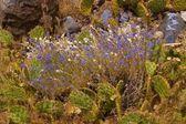 Cactus and purple desert wildflower — Stock Photo
