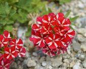 Red white verbena blooms — Stock Photo