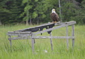 A bald eagle sitting on an old duck blind — Stock Photo