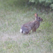 A Cottontail Rabbit ready to bolt - 图库照片
