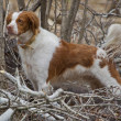 Brittany Spaniel with Tail standing at attention - Stock Photo