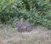 Cottontail Rabbit Sitting in the grass — Fotografia Stock