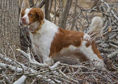 Brittany Spaniel with Tail standing at attention — Stock Photo