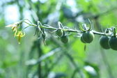 From flower to fruit-tomatoes in progress — Stock Photo