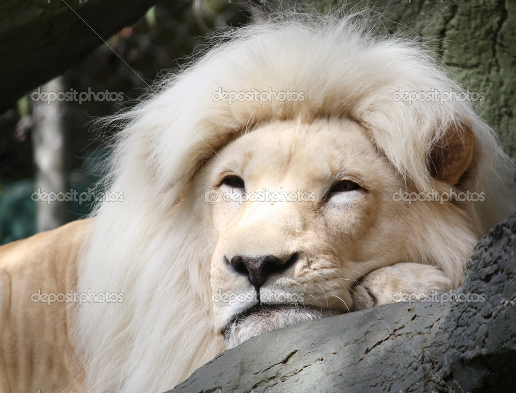 Magestic White Lion resting on a tree branch.  Lizenzfreies Foto #11796935