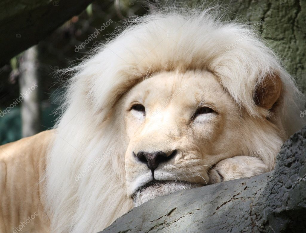 Magestic White Lion resting on a tree branch. — Zdjęcie stockowe #11796935
